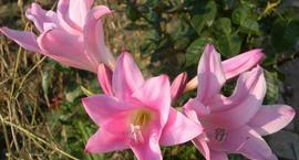 Amarcinum - Amaricrinum Howardii