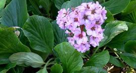 Bergenia sercolistna - Bergenia cordifolia
