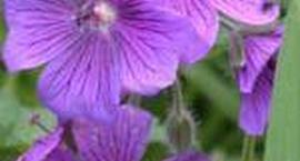 Bodziszek wspaniały – Geranium x magnificum