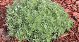 Bylica Schmidta - Artemisia schmidtiana
