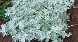 Bylica Stellera - Artemisia stelleriana