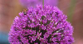 Czosnek - czosnek ozdobny - Allium