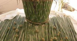 Driakiew gwiaździsta - Scabiosa stellata