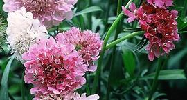 Driakiew wdówka - Scabiosa artropurpure