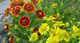 Dzielżan jesienny - Helenium autumnale