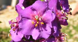 Dziewanna fioletowa - Verbascum phoeniceum