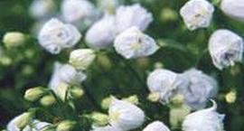 Dzwonek drobny - Campanula cochlearifolia