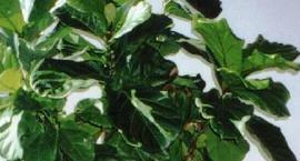 Figowiec Lirolistny Fikus - Ficus lyrata
