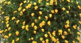 Fiołek o pędach zwisających - Viola x williamsii
