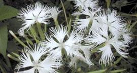Goździk Alwooda - Dianthus hybridus