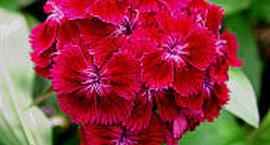 Goździk brodaty - Dianthus barbatus