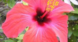 Hibiskus, ketmia, róża chińska – Hibiscus rosa- sinensis