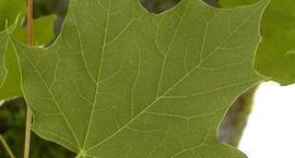 Klon zwyczajny, klon pospolity – Acer platanoides