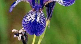Kosaciec syberyjski Irys - Iris sibirica