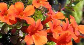 Kroplik miedziany - Mimulus cupreus