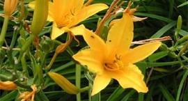 Liliowiec, liliowce – Hemerocallis