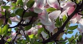 Magnolia japońska - Magnolia kobus