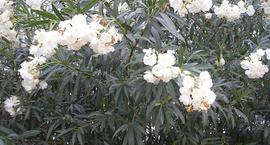 Oleander Pospolity – Nerium Oleander