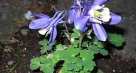 Orlik wachlarzowaty - Aquilegia flabellata