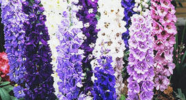 Ostróżka ogrodowa - Delphinium cultorum