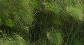 Papirus, Cibora - Cyperus