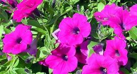 Petunia ogrodowa - Petunia xhybrida
