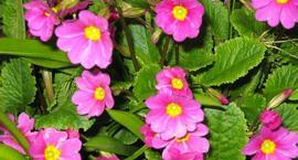 Pierwiosnek pruhonicki - Primula pruhoniciana