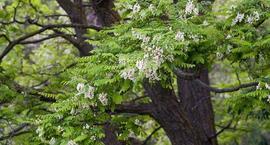 Robinia biała, grochodrzew – Robinia pseudoacacia