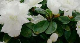 Różanecznik indyjski, Azalia indyjska - Rhododendron simsii