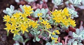 Rozchodnik łopatkowaty - Sedum spathulifolium