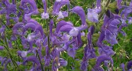 Szałwia łąkowa - Salvia pratensis