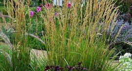 Trzcinnik ostrokwiatowy – Calamagrostis x acutiflora