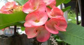 Wilczomlecz lśniący – Euphorbia millii