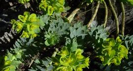 Wilczomlecz mirtowaty - Euphorbia myrsinites