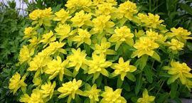 Wilczomlecz złocisty - Euphorbia polychroma