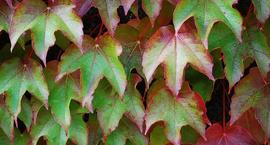 Winobluszcz, Dzikie wino - Parthenocissus