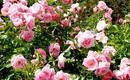 Sadzenie róż - jak sadzić róże?