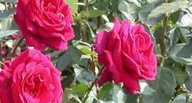 Choroby i szkodniki róż - rozpoznanie i zwalczanie