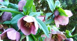 Ciemierniki kwiaty zimy – uprawa i pielęgnacja ciemierników