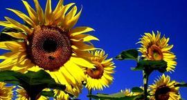 Słoneczniki ozdobne – słoneczne kwiaty