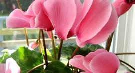 Kwitnące kwiaty doniczkowe dla każdego