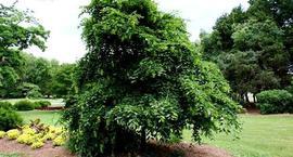 Drzewa o zwisających pędach - płaczące drzewa
