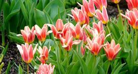 Kwiaty wiosenne – pierwsze wiosenne kwiaty.