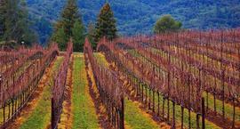 Przycinanie winogron i winorośli
