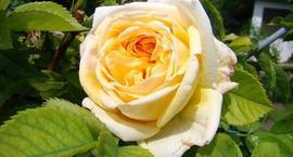 Róże herbaciane
