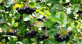 Przetwory z aronii - zdrowie z ogrodu