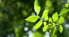 Wiąz szypułkowy ( limak ) – Ulmus laevis