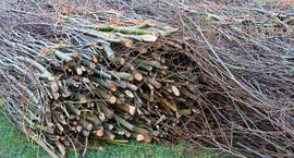 Wierzba energetyczna (wierzba wiciowa, witwa, wierzba krzaczasta, konopianka, wierzba krzewiasta) - Salix viminalis