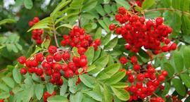 Owoce dekoracyjne, rośliny o dekoracyjnych owocach