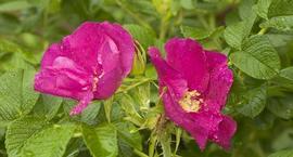 Róża pomarszczona - Rosa rugosa